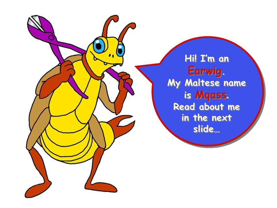 Hi! I'm an Earwig. My Maltese name is Mqass. Read about me in the next slide… Hi! I'm an Earwig. My Maltese name is Mqass. Read about me in the next s