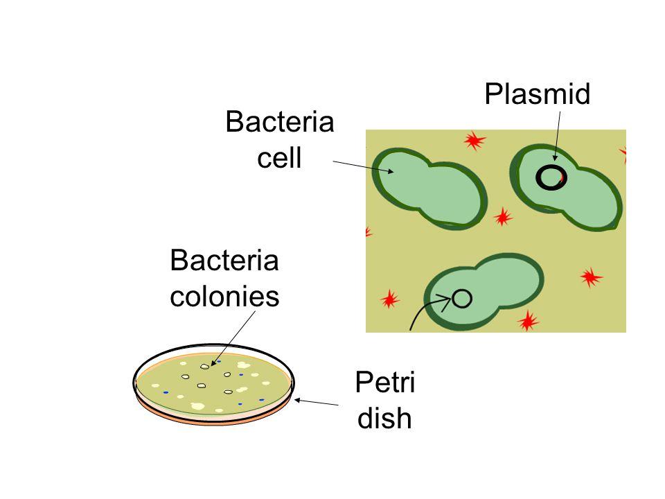 Plasmid Bacteria cell Bacteria colonies Petri dish
