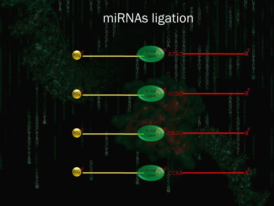 miRNAs ligation 3' GCGC X 5' CCAA X 5'3' TAGC X 5'3' ATAT X 5'3' App 3'-OH5' PO 4 3'-OH5' PO 4 3'-OH5' PO 4 3'-OH5' PO 4 T4 DNA Ligase