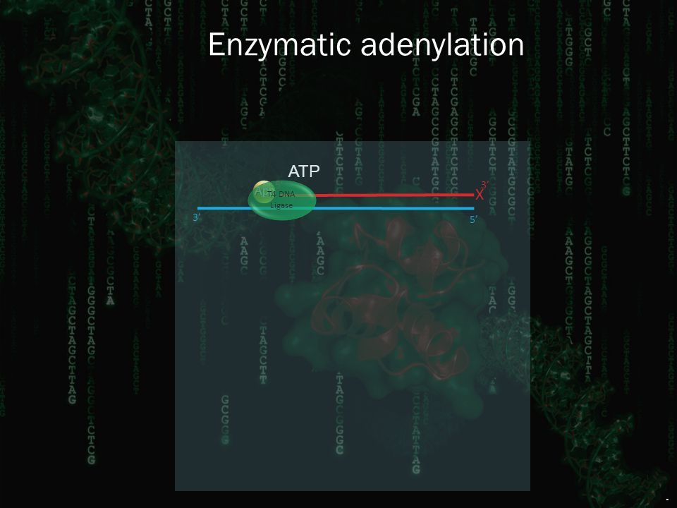 Enzymatic adenylation X 5' PO 4 3' 5' 3' App T4 DNA Ligase. ATP