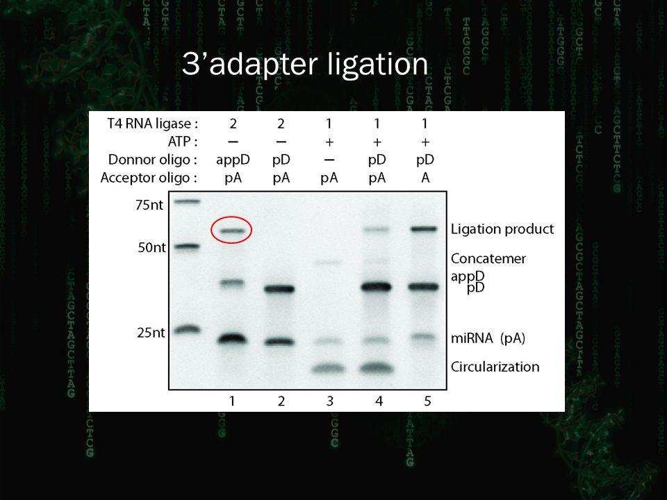 3'adapter ligation