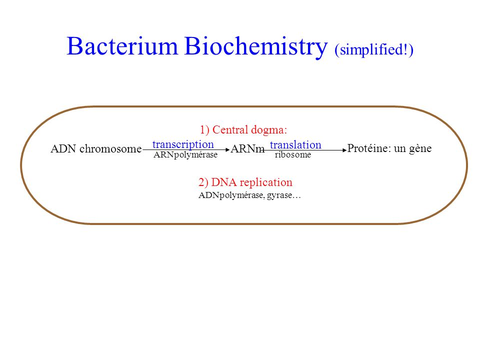 Bacterium Biochemistry (simplified!) 2) DNA replication ADNpolymérase, gyrase… transcription translation ADN chromosomeARNm Protéine: un gène 1) Centr