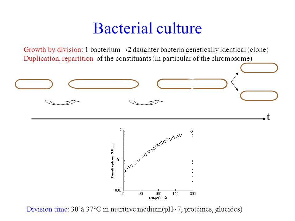 Growth by division: 1 bacterium→2 daughter bacteria genetically identical (clone) Duplication, repartition of the constituants (in particular of the c