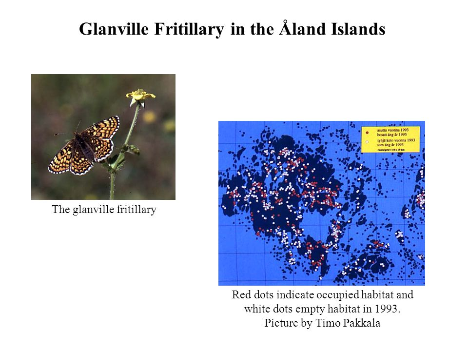 Red dots indicate occupied habitat and white dots empty habitat in 1993. Picture by Timo Pakkala Glanville Fritillary in the Åland Islands The glanvil