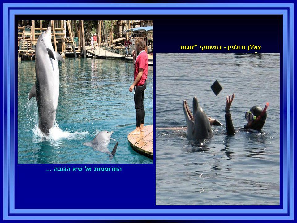 צוללן ודולפין - במשחקי זוגות מעורב . התרוממות אל שיא הגובה...