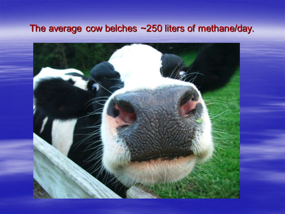 The average cow belches ~250 liters of methane/day.