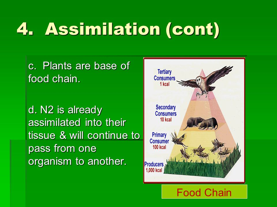 4. Assimilation (cont) c. Plants are base of food chain. d. N2 is already assimilated into their tissue & will continue to pass from one organism to a
