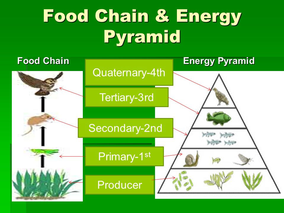 Food Chain & Energy Pyramid Food Chain Energy Pyramid Energy Pyramid Producer Primary-1 st Secondary-2nd Tertiary-3rd Quaternary-4th