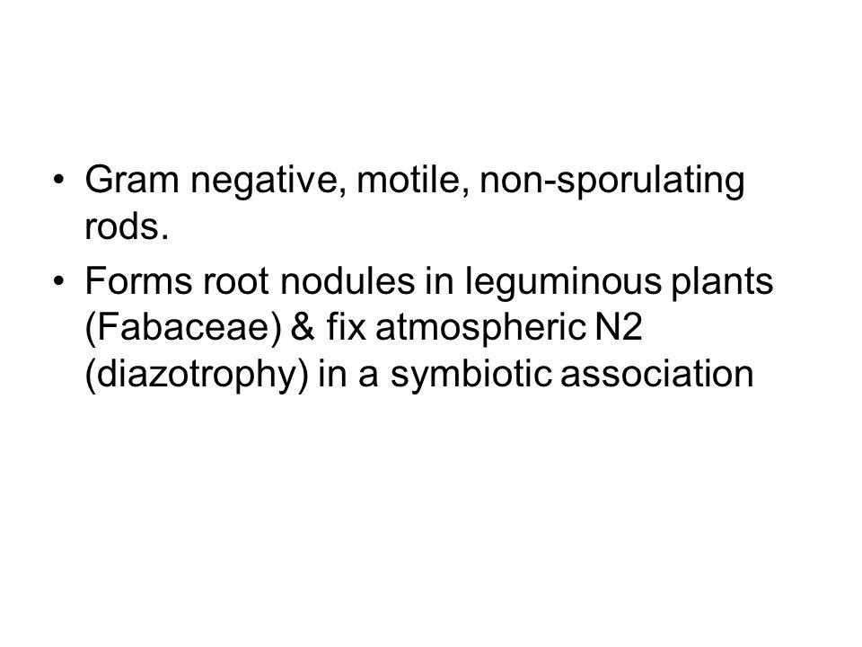 Gram negative, motile, non-sporulating rods. Forms root nodules in leguminous plants (Fabaceae) & fix atmospheric N2 (diazotrophy) in a symbiotic asso