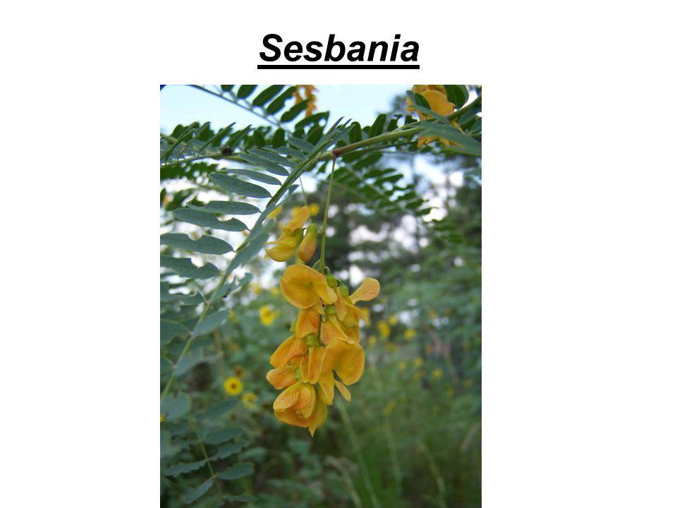 Sesbania