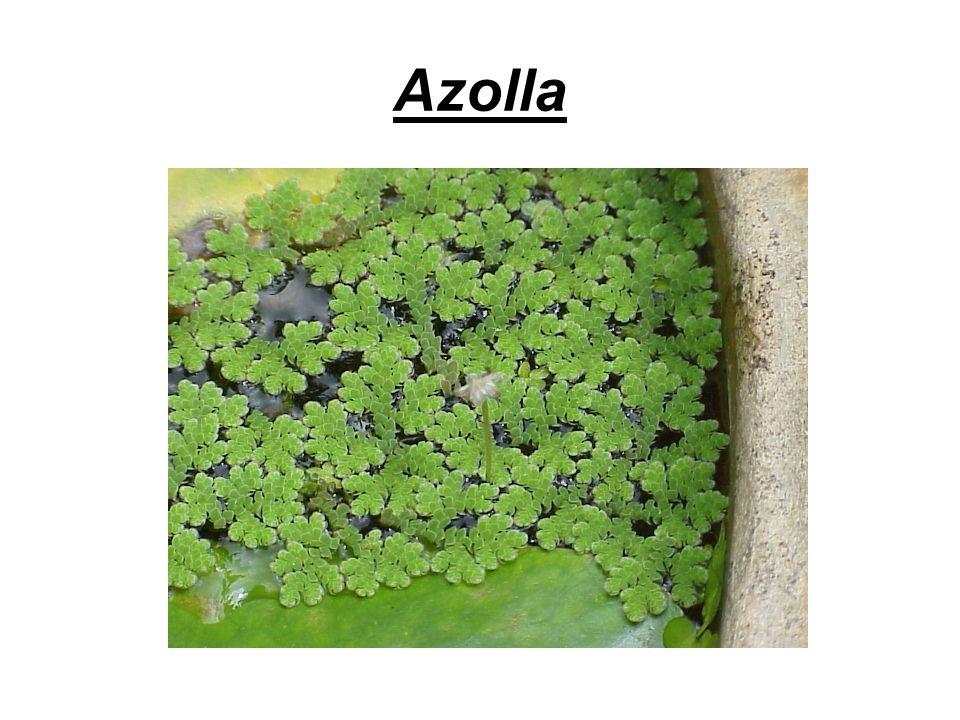 Azolla