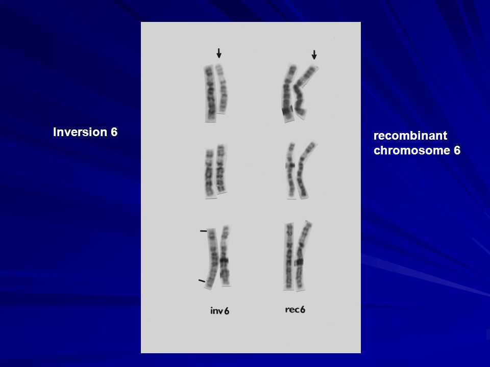 Inversion 6 recombinant chromosome 6