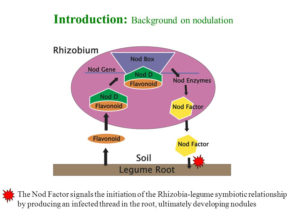 Introduction: Background on nodulation The Nod Factor signals the initiation of the Rhizobia-legume symbiotic relationship by producing an infected thread in the root, ultimately developing nodules