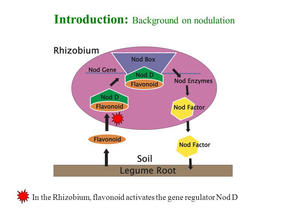 Introduction: Background on nodulation In the Rhizobium, flavonoid activates the gene regulator Nod D