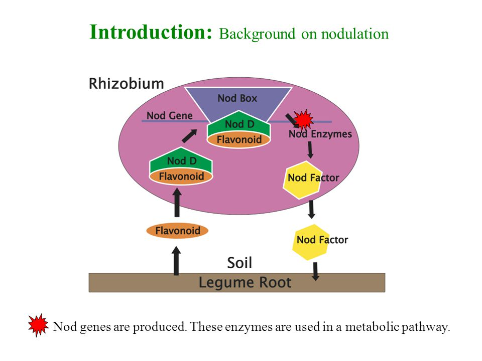 Introduction: Background on nodulation Nod genes are produced.