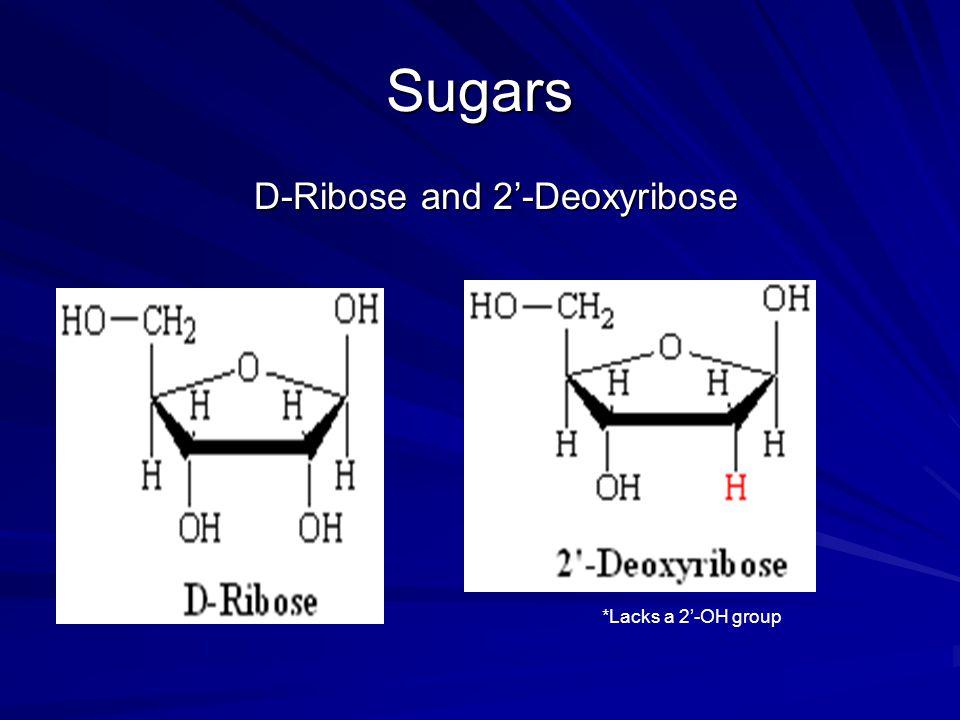 Sugars D-Ribose and 2'-Deoxyribose D-Ribose and 2'-Deoxyribose *Lacks a 2'-OH group