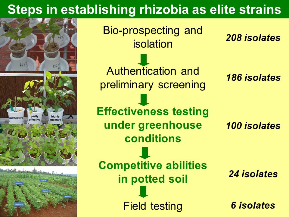 Steps in establishing rhizobia as elite strains Bio-prospecting and isolation Authentication and preliminary screening Effectiveness testing under gre