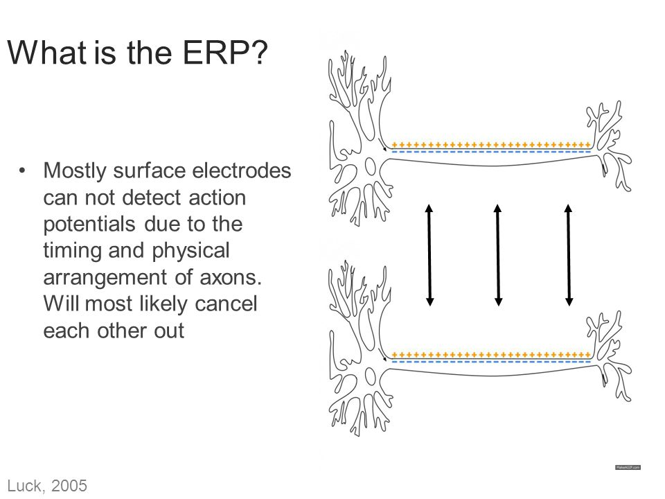 What is the ERP? Mostly surface electrodes can not detect action potentials due to the timing and physical arrangement of axons. Will most likely canc