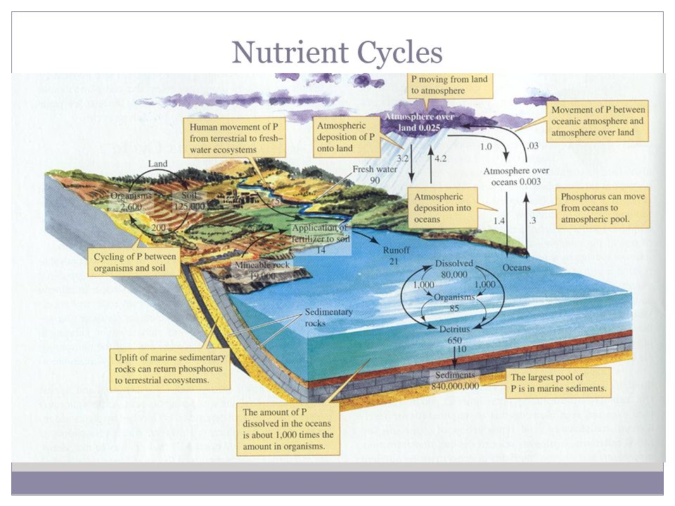Nutrient Cycles Phosphorus Cycle  Essential for creation of DNA, RNA  Not very abundant in biosphere  Remains mostly on land in rock, soil, & sediments  As rock & sediments wear down, P is released to environment.