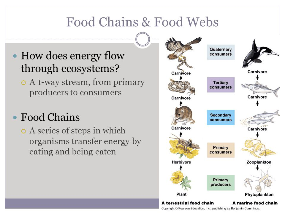 Food Chains & Food Webs How does energy flow through ecosystems.