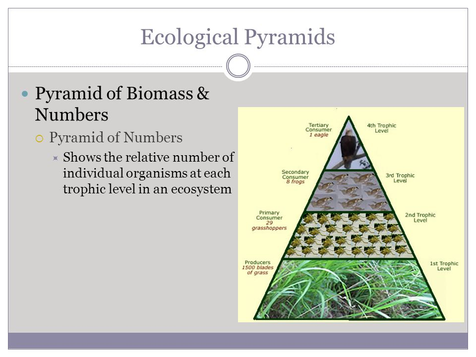 Ecological Pyramids Pyramid of Biomass & Numbers  Pyramid of Numbers  Shows the relative number of individual organisms at each trophic level in an