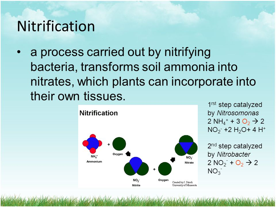 Nitrification a process carried out by nitrifying bacteria, transforms soil ammonia into nitrates, which plants can incorporate into their own tissues.
