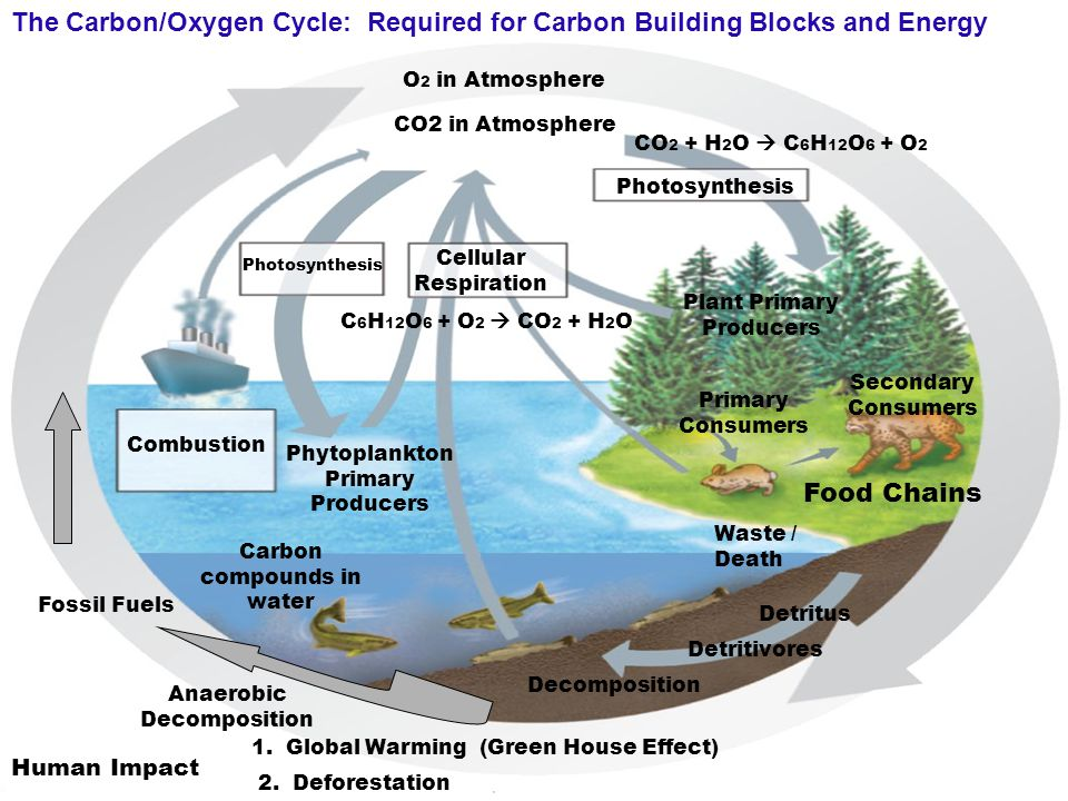 The Carbon/Oxygen Cycle: Required for Carbon Building Blocks and Energy Combustion CO 2 in Atmosphere Cellular Respiration Photosynthesis Primary Cons