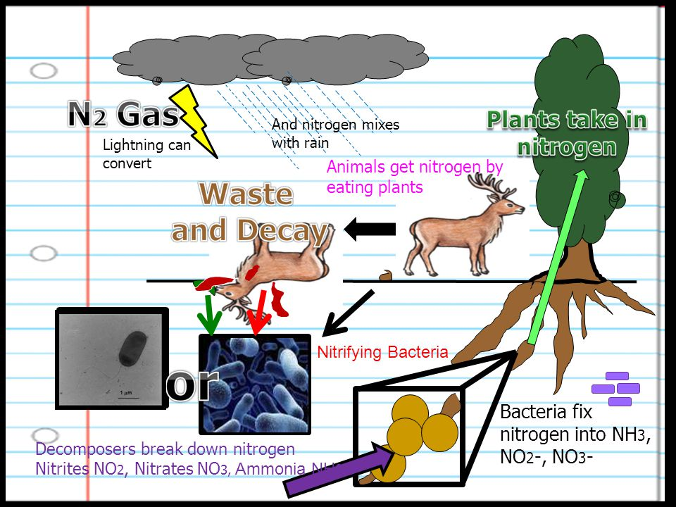 Lightning can convert And nitrogen mixes with rain Bacteria fix nitrogen into NH 3, NO 2 -, NO 3 - Animals get nitrogen by eating plants Decomposers break down nitrogen Nitrites NO 2, Nitrates NO 3, Ammonia NH 3 Nitrifying Bacteria