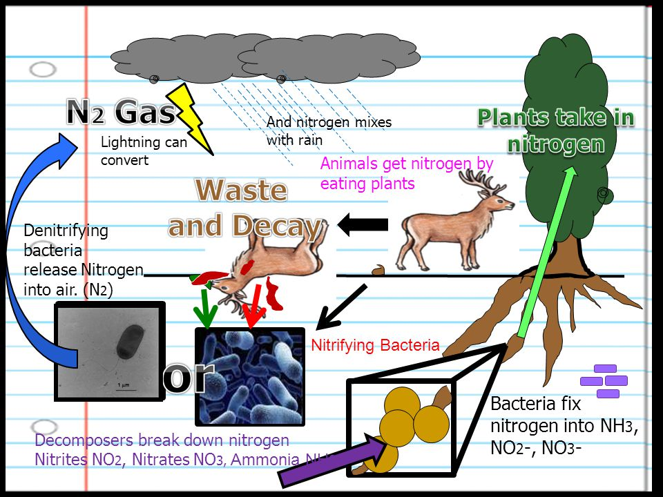 Lightning can convert And nitrogen mixes with rain Bacteria fix nitrogen into NH 3, NO 2 -, NO 3 - Animals get nitrogen by eating plants Denitrifying bacteria release Nitrogen into air.