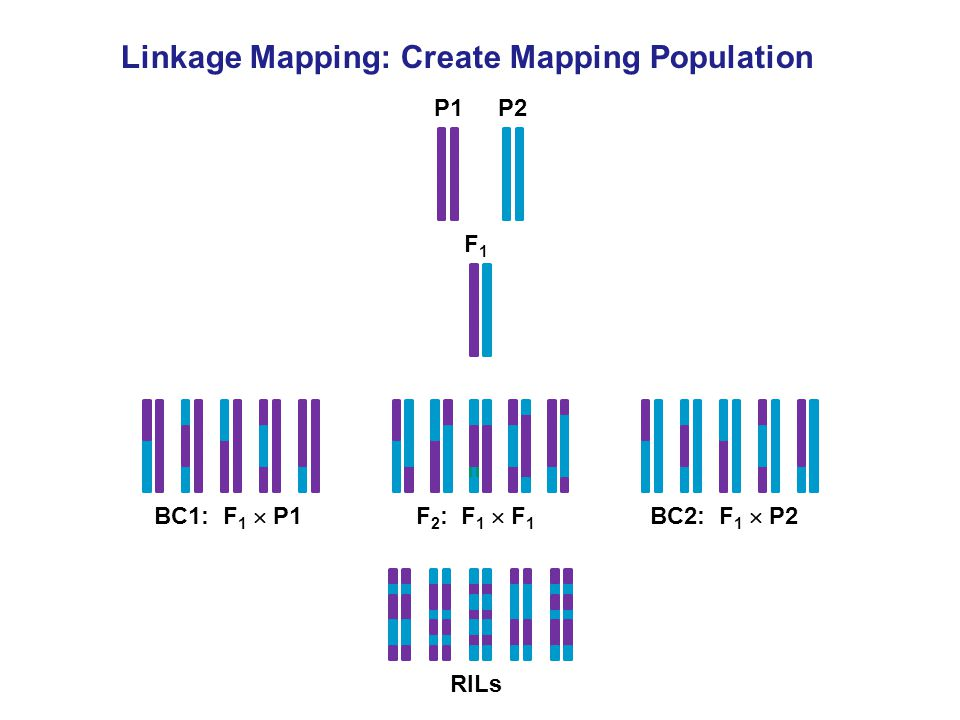 Linkage Mapping: Create Mapping Population P1P2 F1F1 BC1: F 1  P1BC2: F 1  P2F 2 : F 1  F 1 RILs