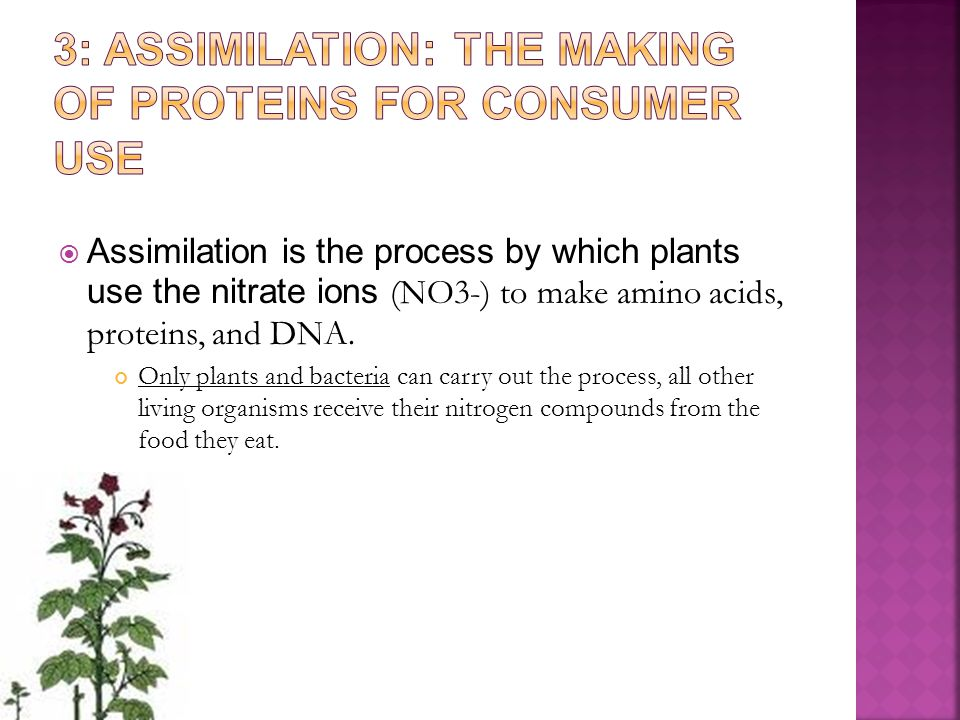  Assimilation is the process by which plants use the nitrate ions (NO3-) to make amino acids, proteins, and DNA. Only plants and bacteria can carry o