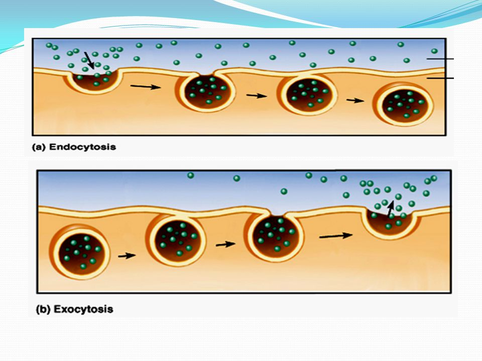 "Exocytosis ""out"" Exocytosis: (""Exo"" means ""out"".) reverse Exocytosis is the reverse of endocytosis. This is where a cell releases the contents of a ve"