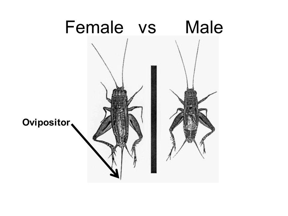 Female vs Male Ovipositor
