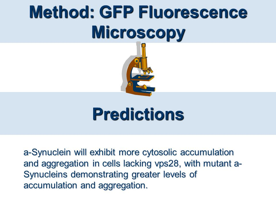 Predictions Method: GFP Fluorescence Microscopy a-Synuclein will exhibit more cytosolic accumulation and aggregation in cells lacking vps28, with muta