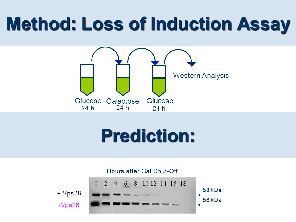 Method: Loss of Induction Assay Glucose Galactose Glucose 24 h Western Analysis 24 h Prediction: + Vps28 -Vps28 0 2 4 6 8 10 12 14 16 18 Hours after G
