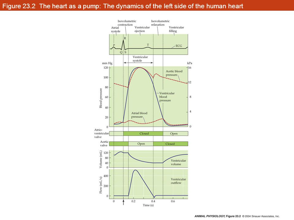 Figure 23.2 The heart as a pump: The dynamics of the left side of the human heart