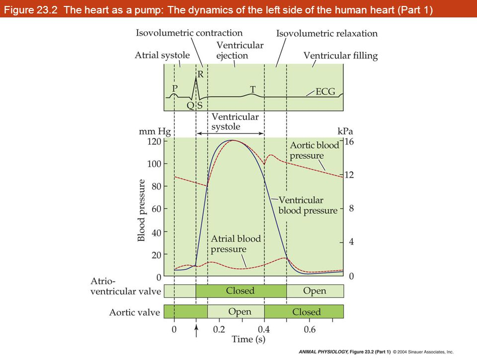 Figure 23.2 The heart as a pump: The dynamics of the left side of the human heart (Part 1)