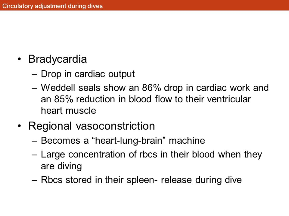 Circulatory adjustment during dives Bradycardia –Drop in cardiac output –Weddell seals show an 86% drop in cardiac work and an 85% reduction in blood