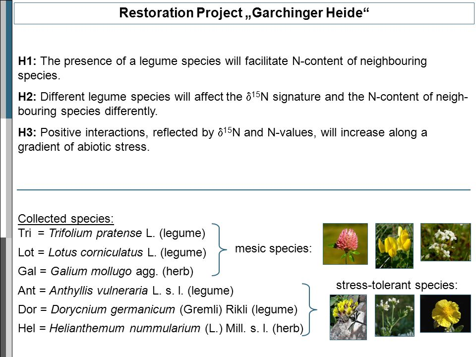 "Restoration Project ""Garchinger Heide H1: The presence of a legume species will facilitate N-content of neighbouring species."