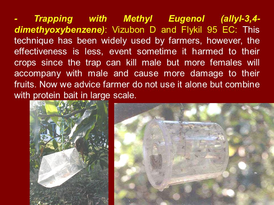 - Trapping with Methyl Eugenol (allyl-3,4- dimethyoxybenzene): Vizubon D and Flykil 95 EC: This technique has been widely used by farmers, however, the effectiveness is less, event sometime it harmed to their crops since the trap can kill male but more females will accompany with male and cause more damage to their fruits.