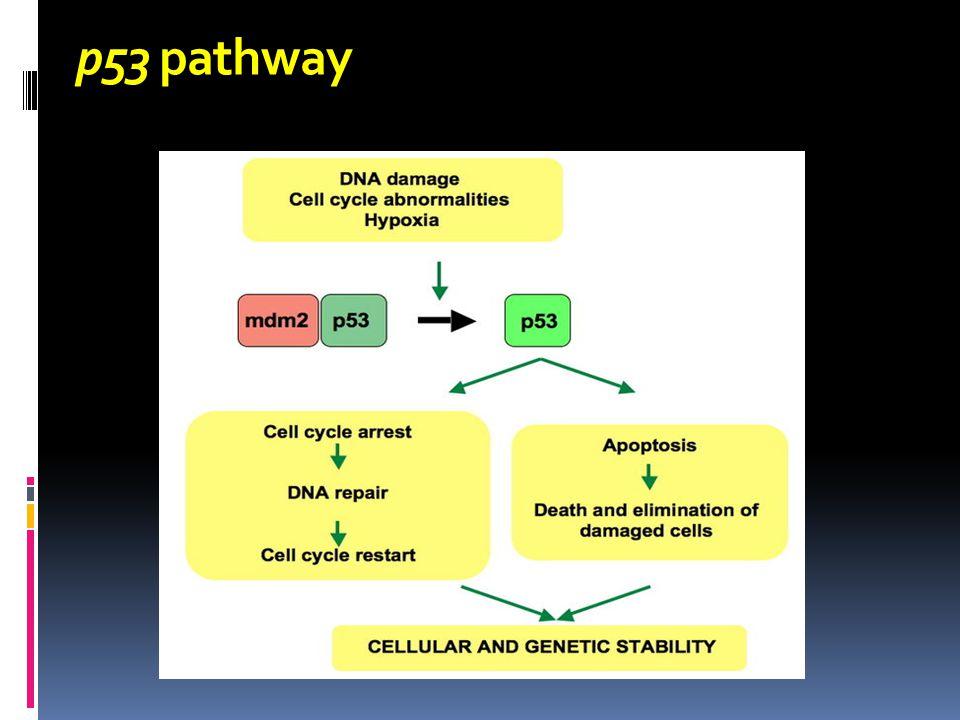 p53 pathway