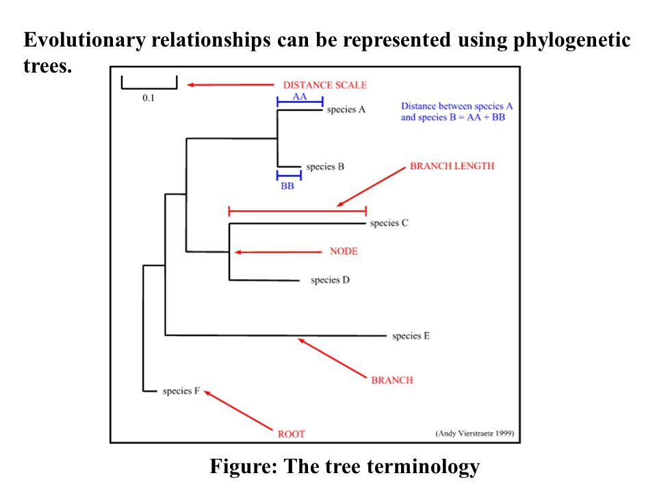 Evolutionary relationships can be represented using phylogenetic trees.