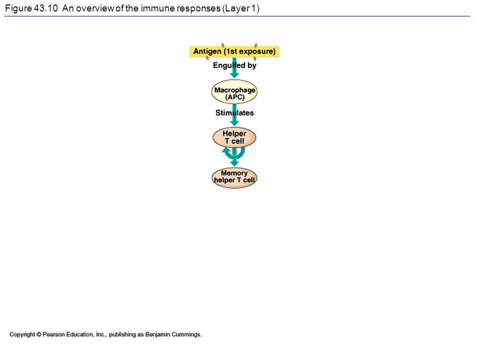 Figure 43.10 An overview of the immune responses (Layer 1)