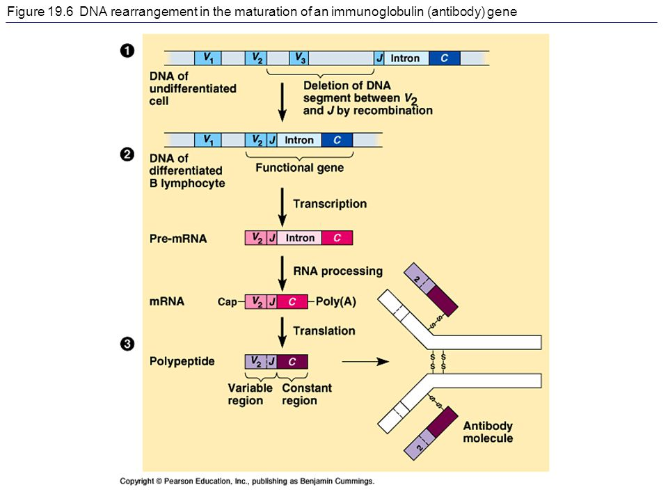 Figure 19.6 DNA rearrangement in the maturation of an immunoglobulin (antibody) gene