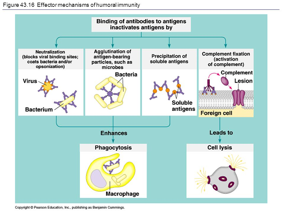 Figure 43.16 Effector mechanisms of humoral immunity