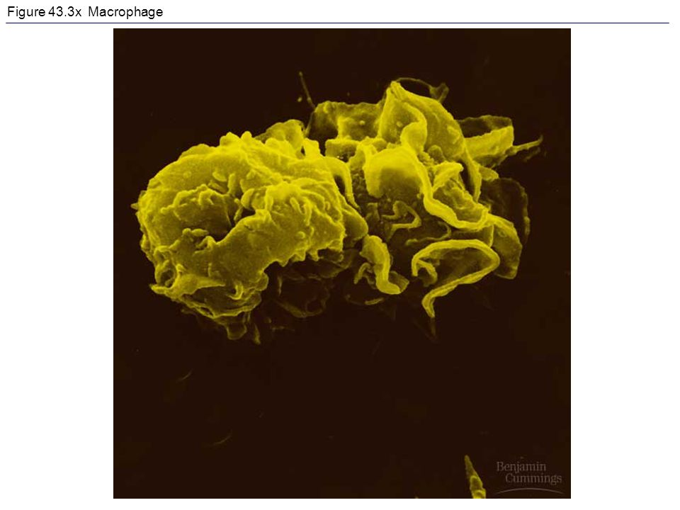 Figure 43.3x Macrophage