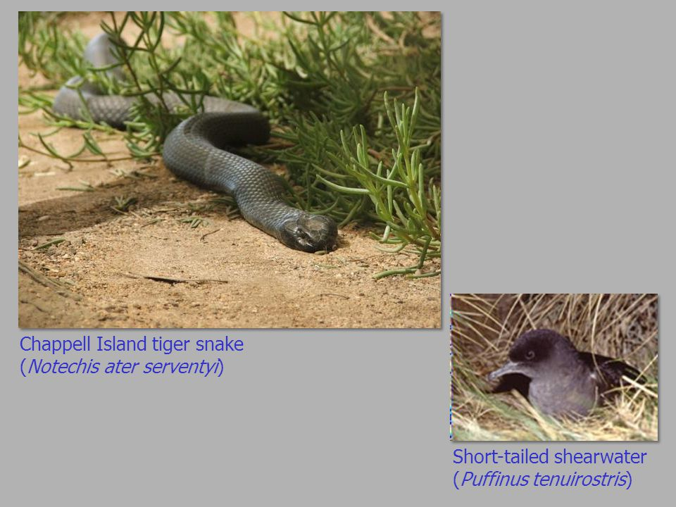 Chappell Island tiger snake (Notechis ater serventyi) Short-tailed shearwater (Puffinus tenuirostris)