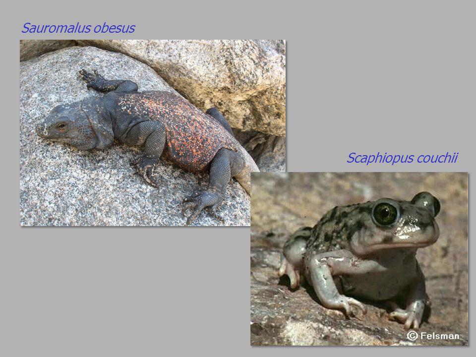 Sauromalus obesus Scaphiopus couchii