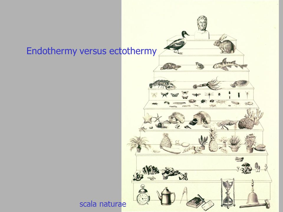 Endothermy versus ectothermy scala naturae