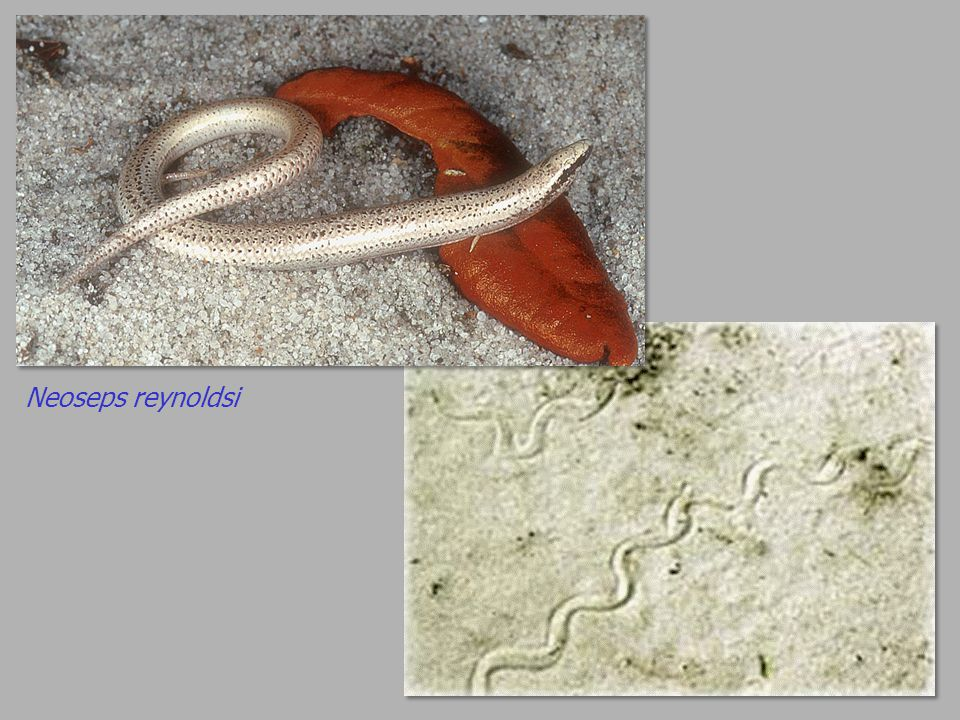 Neoseps reynoldsi